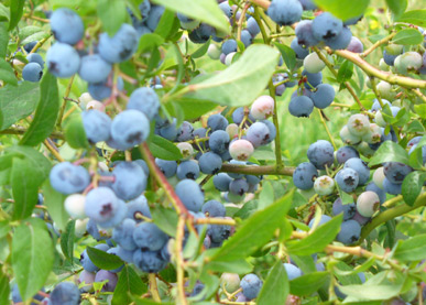 Come pick some fresh Victoria blueberries